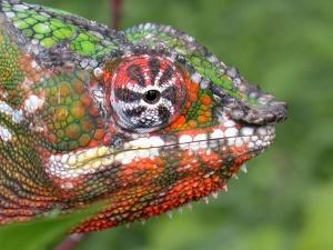 Panther_Chameleon_(Furcifer_pardalis)